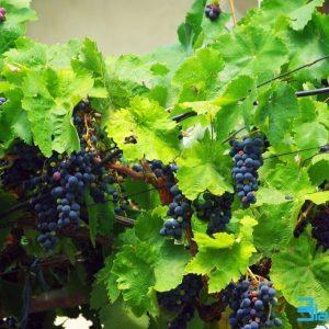 Очакват се до 20% по-ниски добиви от грозде, но с по-добро качество