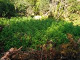 Разкриха нива с 315 кг канабис край симитлийското село Сенокос